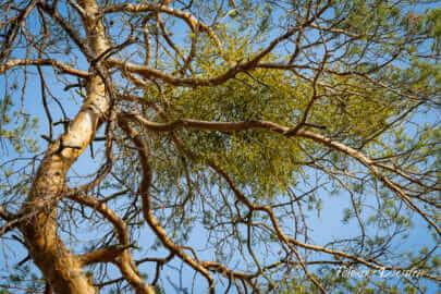 Mistel auf kahlem Baum